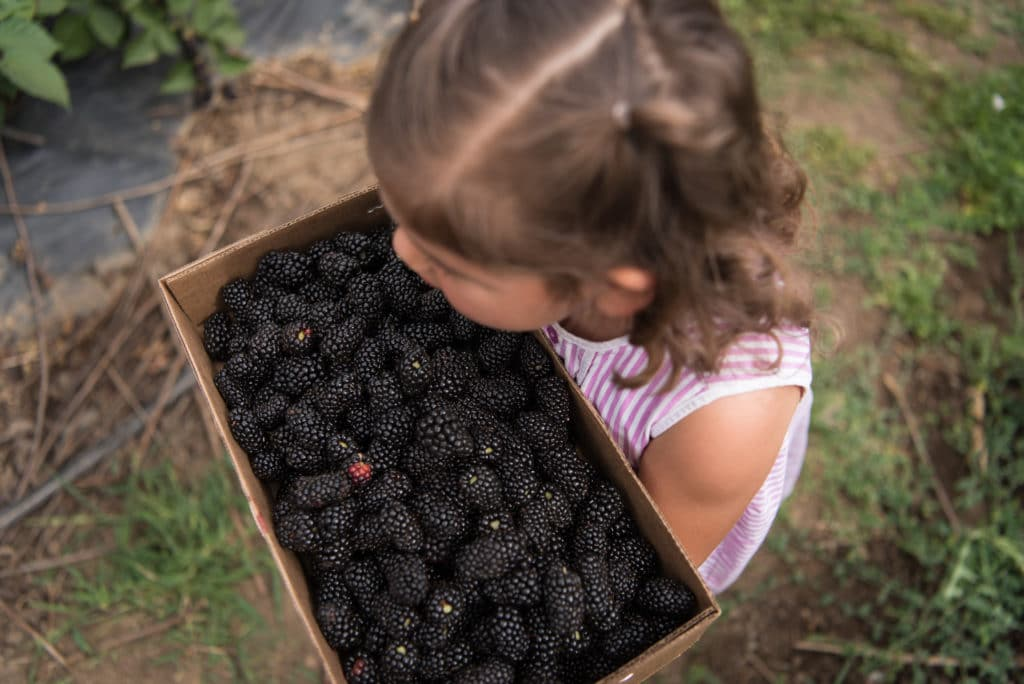 A child carrying a flat of fresh picked blackberries.