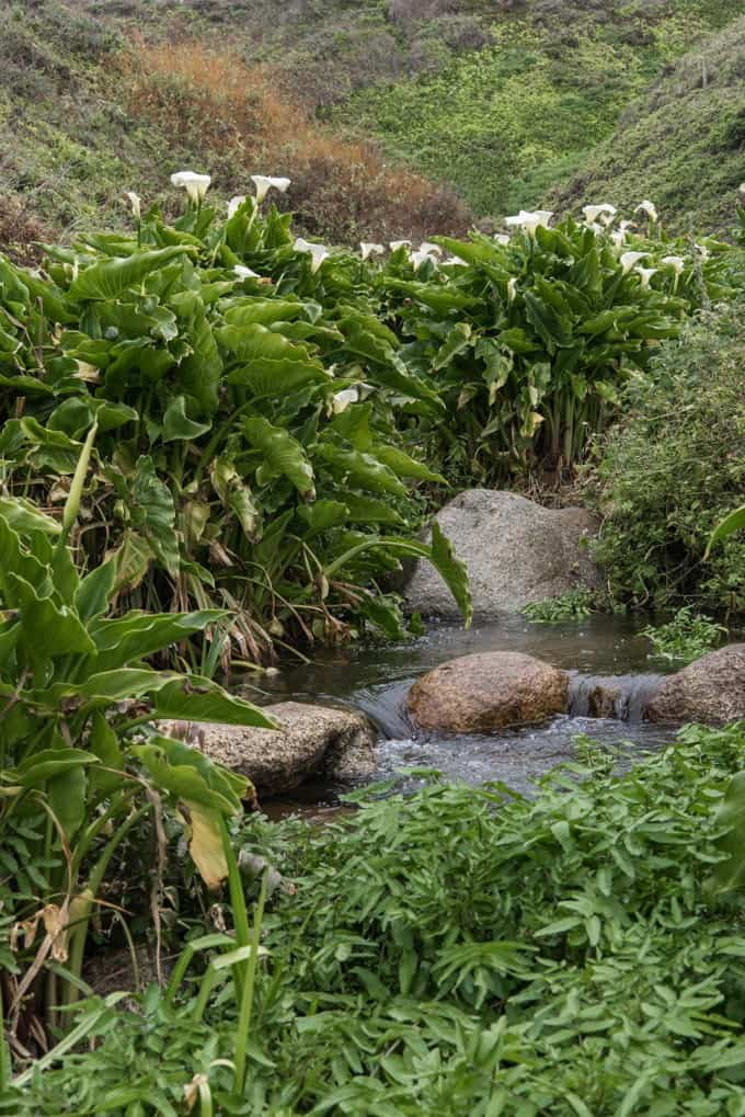 An image of a stream flowing through wild calla lilies at Calla Lily Valley in Big Sur, California at Garrapata State Park.