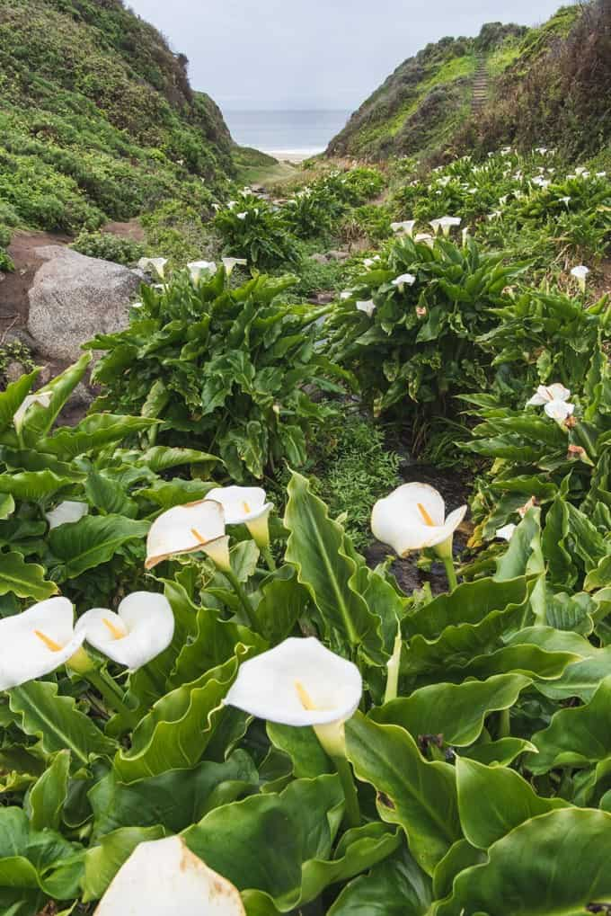 An image of wild calla lilies growing in Garrapata State Park in Big Sur, California.