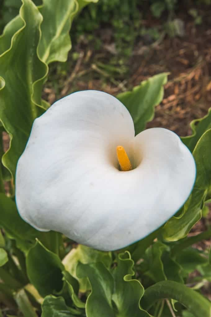 An image of a wild calla lily in Big Sur.