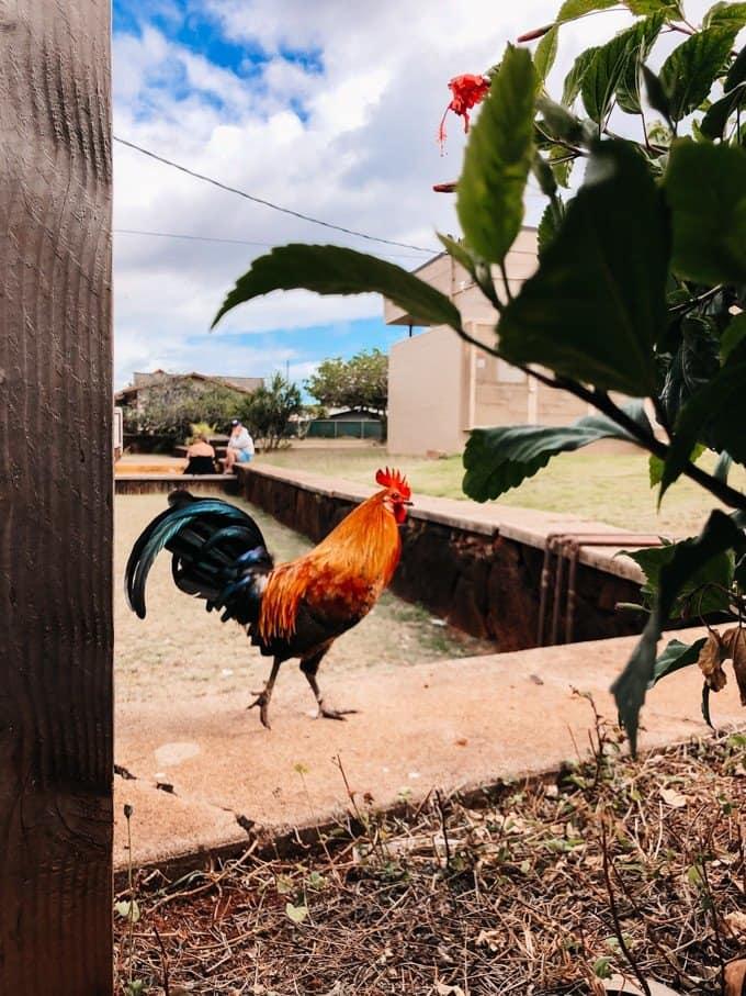 a rooster walking on a little sidewalk