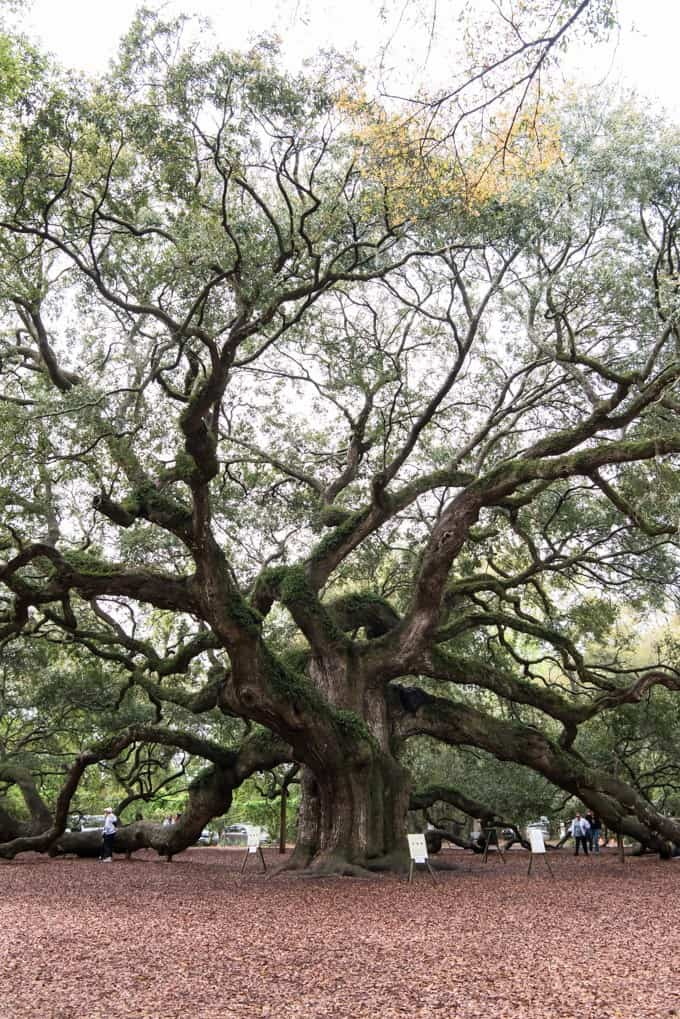 An image of the Angel Oak tree on John's Island in South Carolina.