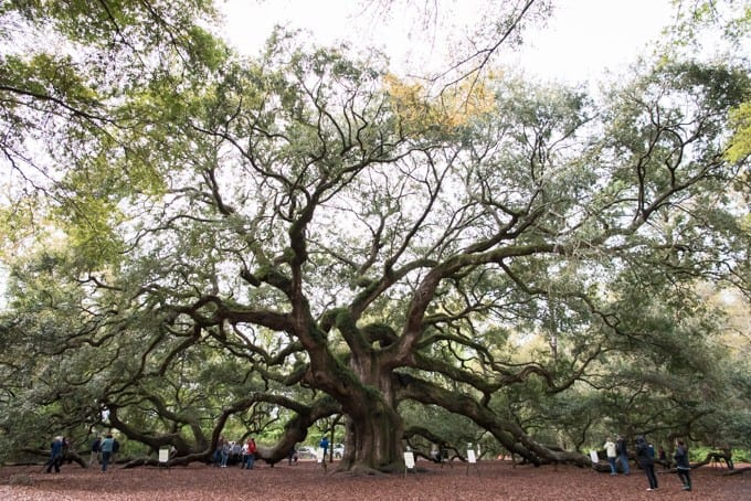 An image of the Angel Oak tree on Johns Island in South Carolina.
