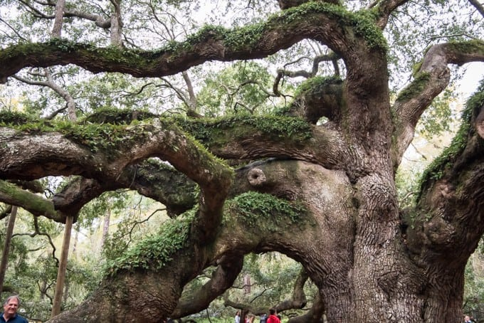 An image of a live oak in South Carolina.