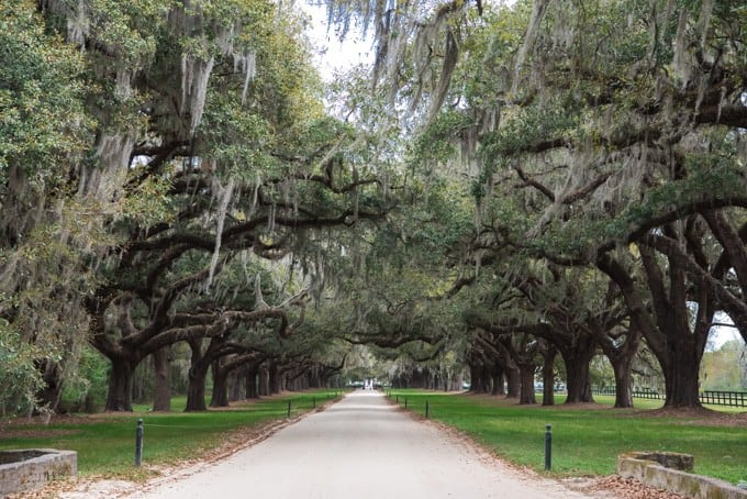 An image of Spanish moss covered live oaks lining the driveway at Boone Hall Plantation in Charleston, South Carolina.