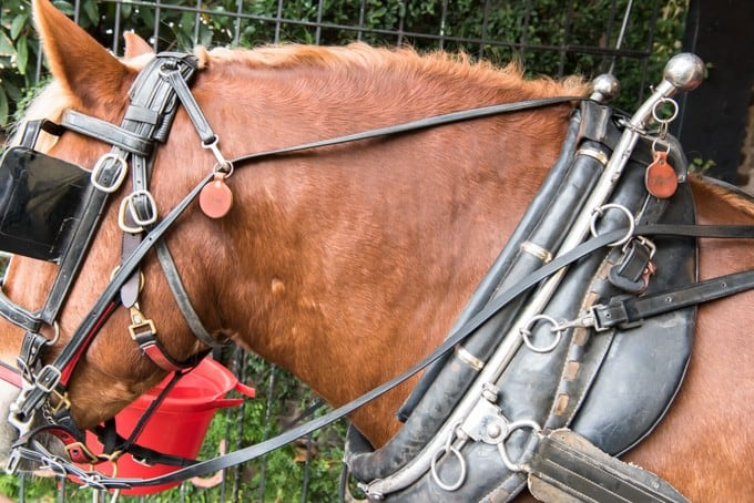 An image of a horse in a harness.
