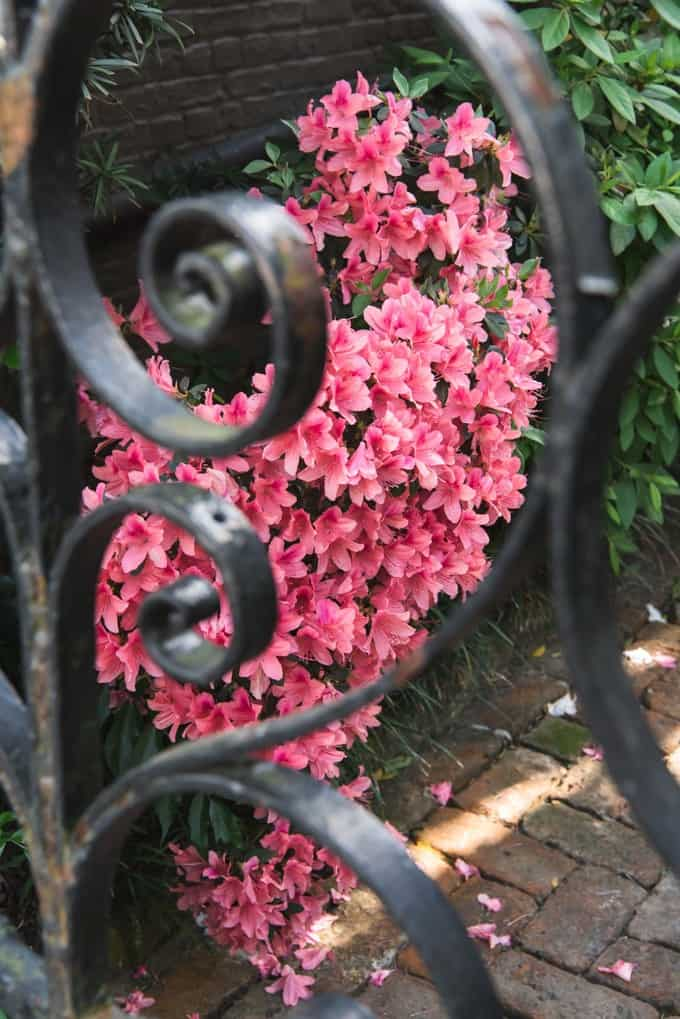 An image of bright pink flowers through a wrought iron gate.