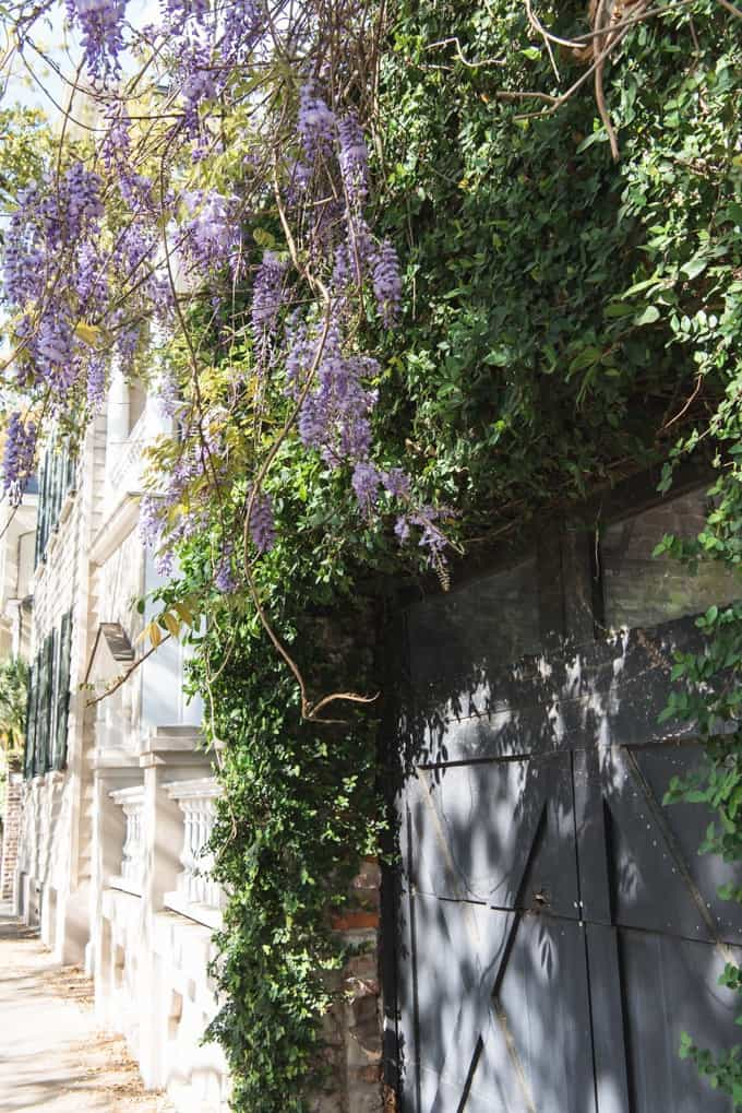 An image of wisteria growing on a street in Charleston, South Carolina.