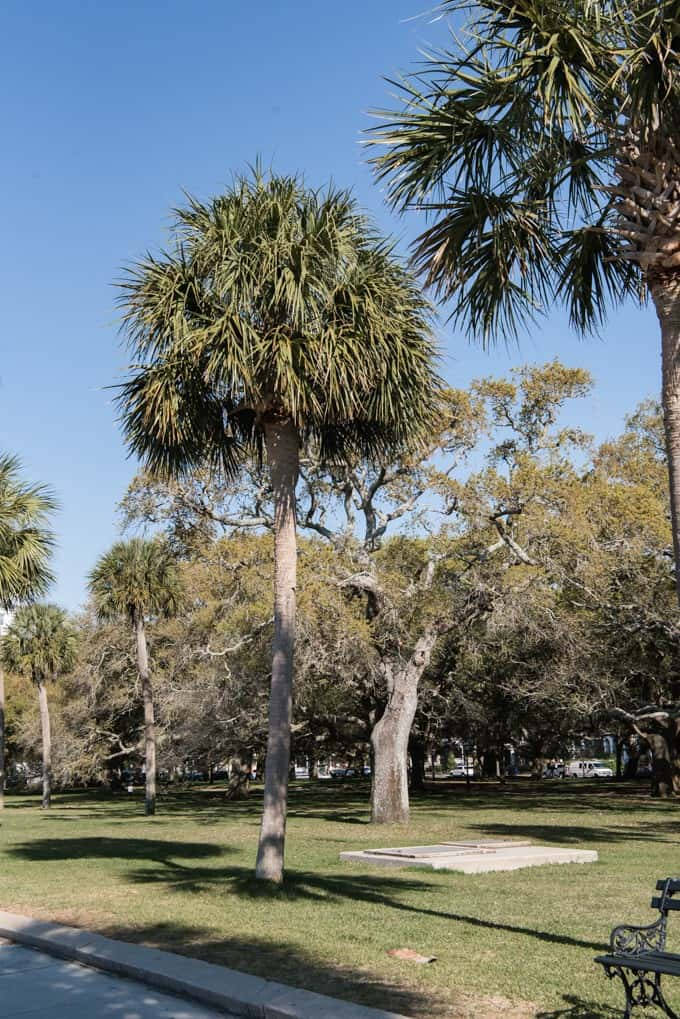 An image of a palmetto tree in a park in Charleston, South Carolina.
