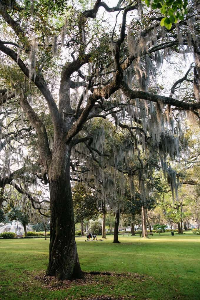 An image of a tree in Forsythe Park in Savannah, Georgia.