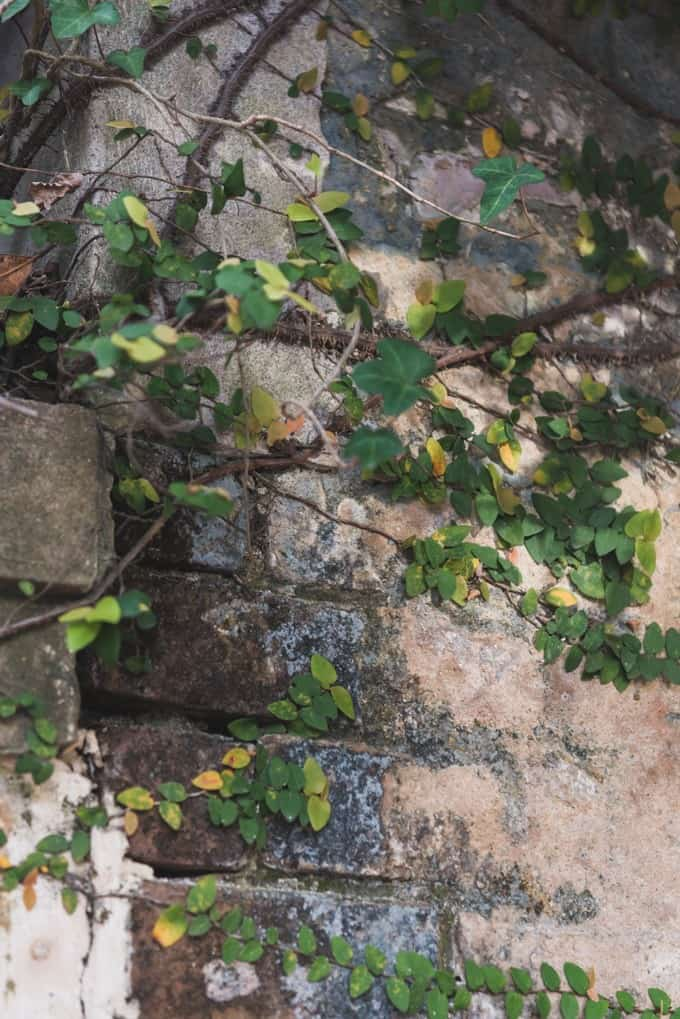 An image of ivy creeping over a brick wall.