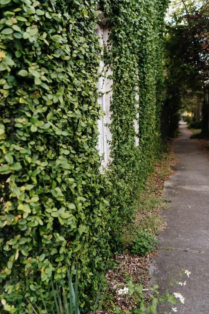An image of ivy covered walls in Savannah, Georgia.