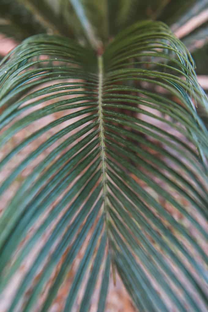 A detailed shot of delicate palm leaves from a young palmetto.