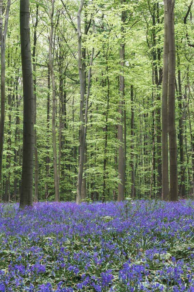 An image of the wild hyacinths in the spring in Belgium.