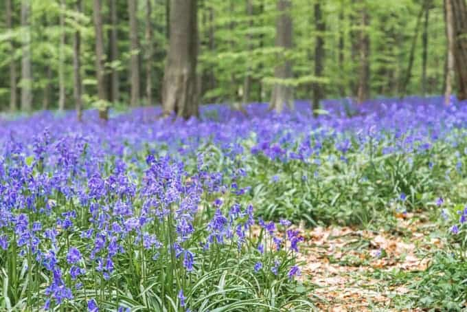 An image of bluebells growing in the spring.
