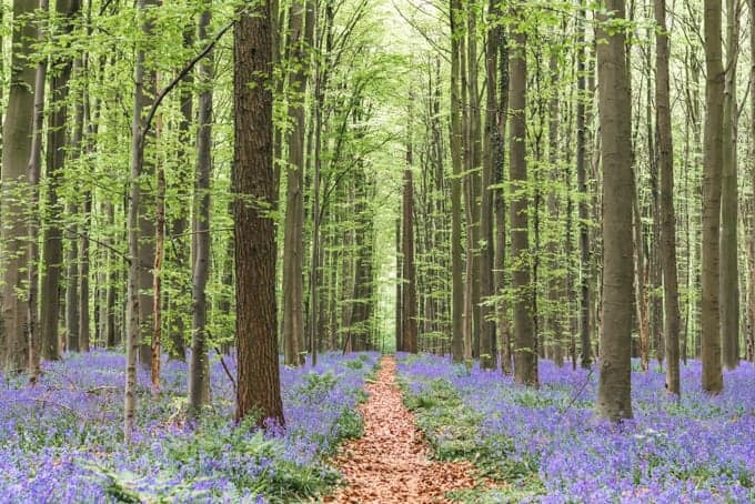 An image of a path through the bluebells of Hallerbos forest in Belgium.