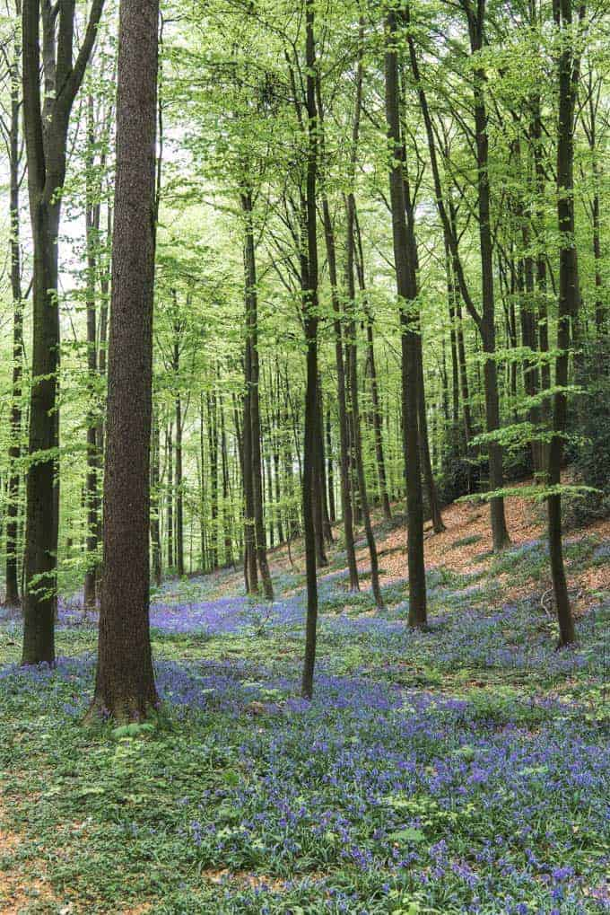 An image of a carpet of purple flowers in the Hallerbos forest in spring.