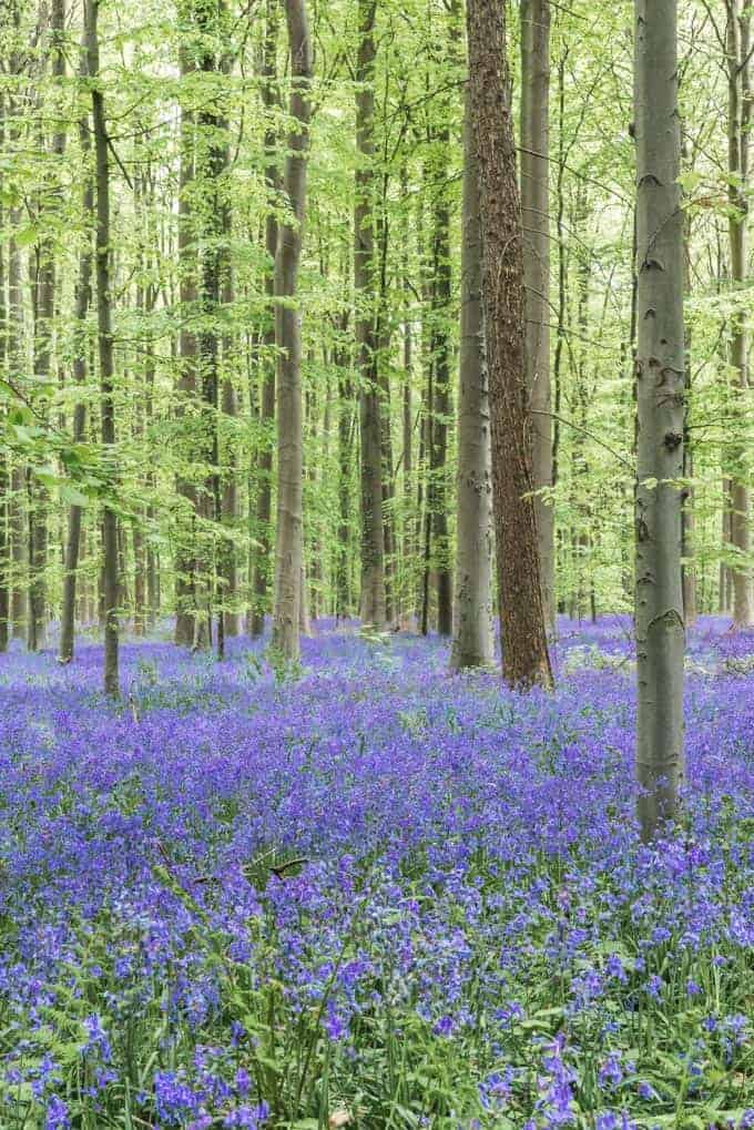 An image of bluebells in the Blue Forest in Belgium.