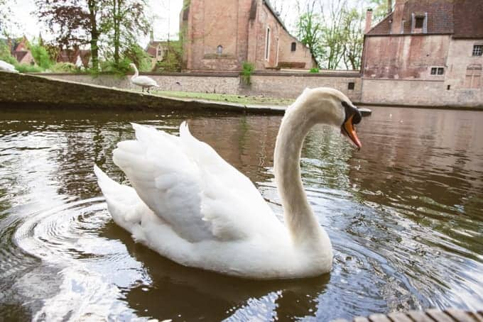 An image of a swan in Belgium.