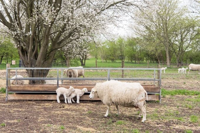 Sheep in the Danish countryside.