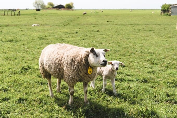 An image of a mom and baby sheep in a field in the Netherlands.