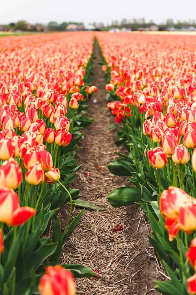 An image of a field of red and yellow tulips.