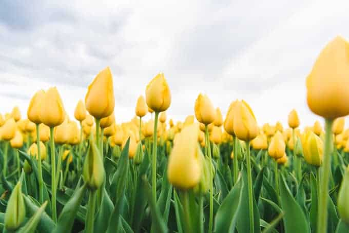 An image of yellow tulip fields in Holland on the Tulip Route.