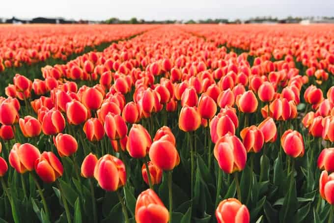 An image of red and yellow tulips.