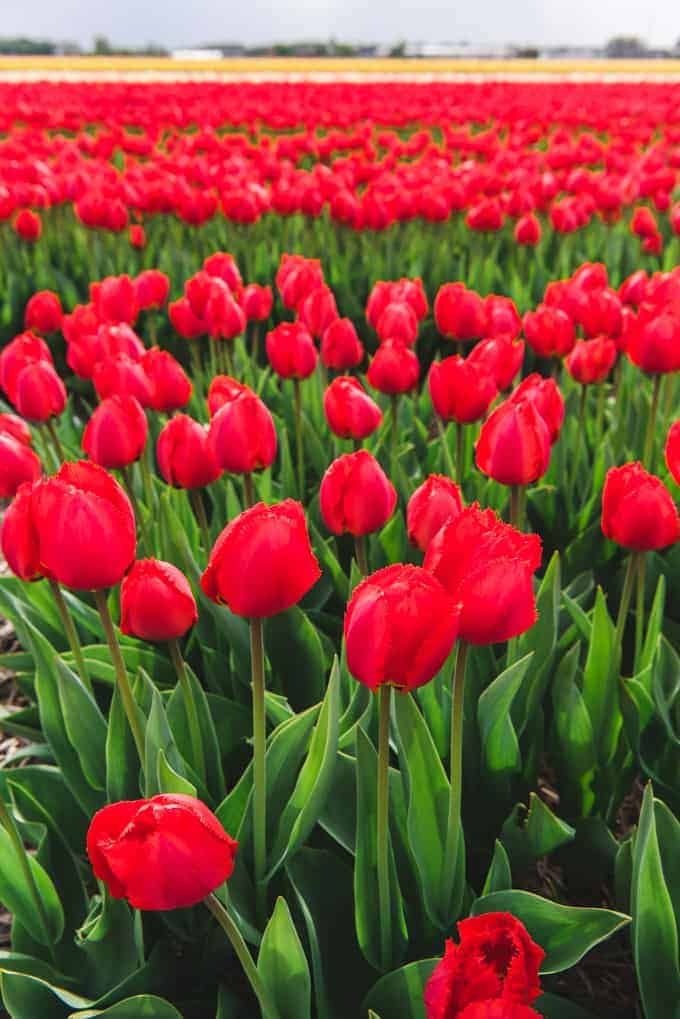 An image of red tulips in Holland.
