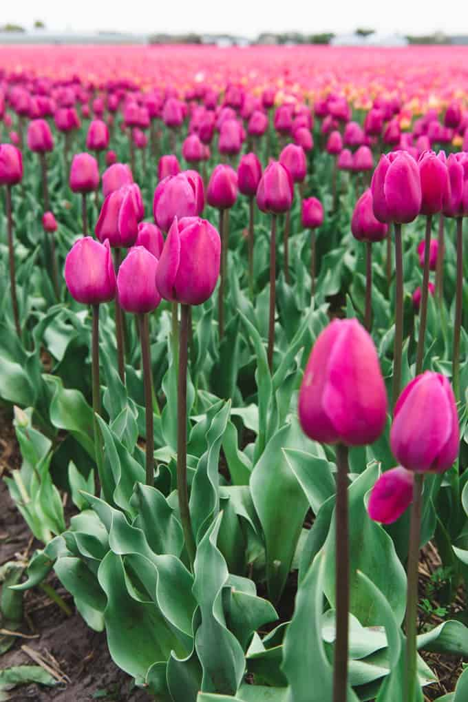 An image of purple tulips in the Netherlands.
