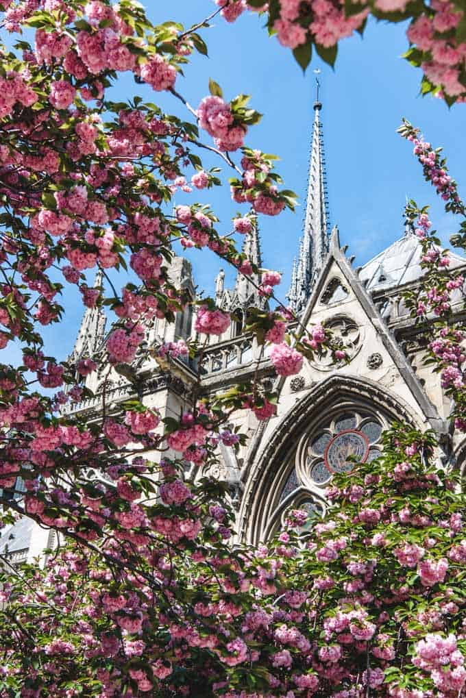 An image of pink blossoms in front of Notre Dame Cathedral in Paris.