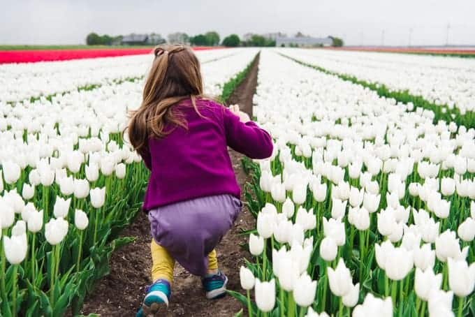 An image of a young girl taking pictures of white tulips in a field in the Netherlands.