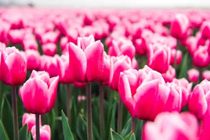 An image of pink and white tulips.