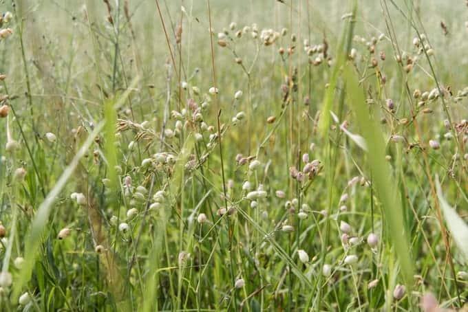 Grasses growing in Wisconsin.