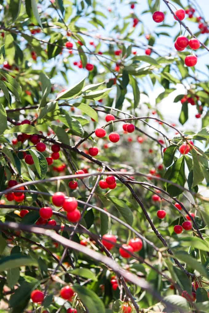 Cherries growing on a cherry tree.