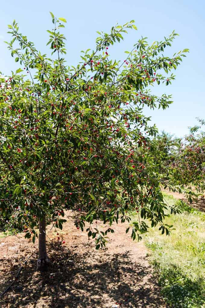 A cherry tree with ripe cherries on it.