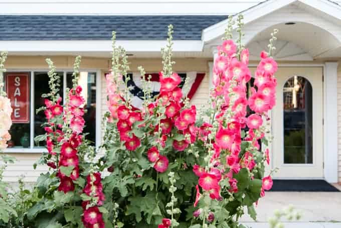 Red hollyhocks in front of a building in Fish Creek, Wisconsin.