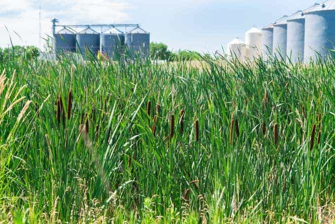 Cattails and grain silos in North Dakota.