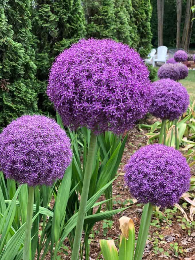 Large purple flowers.